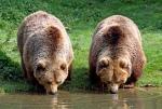 poze-ursi-bruni